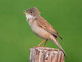 Grasmus / Common Whitethroat