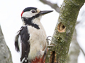 Grote Bonte Specht / Great Spotted Woodpecker