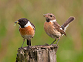 Roodborsttapuit (man + vr) / Common Stonechat (male + fem)