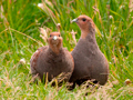 Patrijzen / Grey Partridge