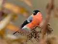 Goudvink (man) / Bullfinch